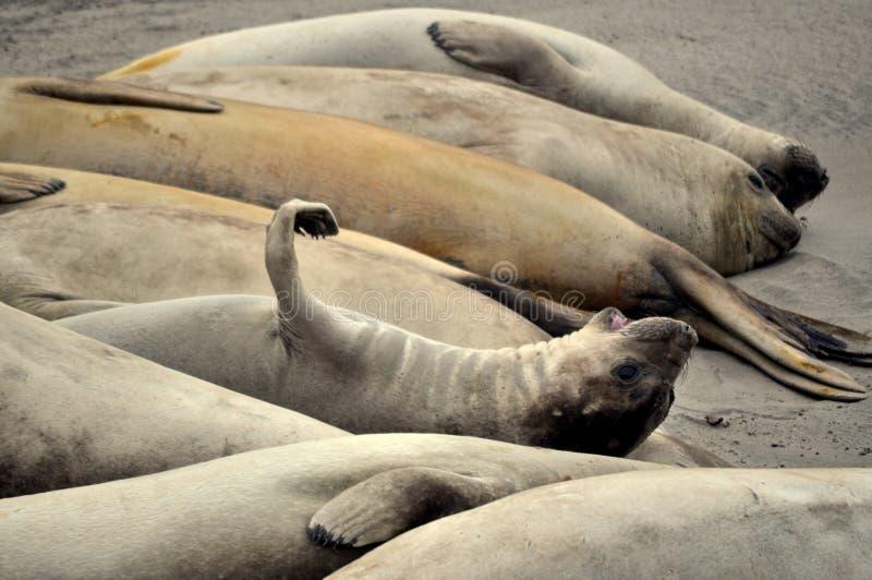 Un gruppo di leoni marini fotografia stock
