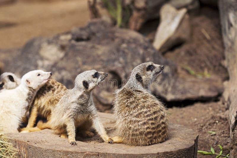 Un gruppo di Meerkats fotografia stock libera da diritti
