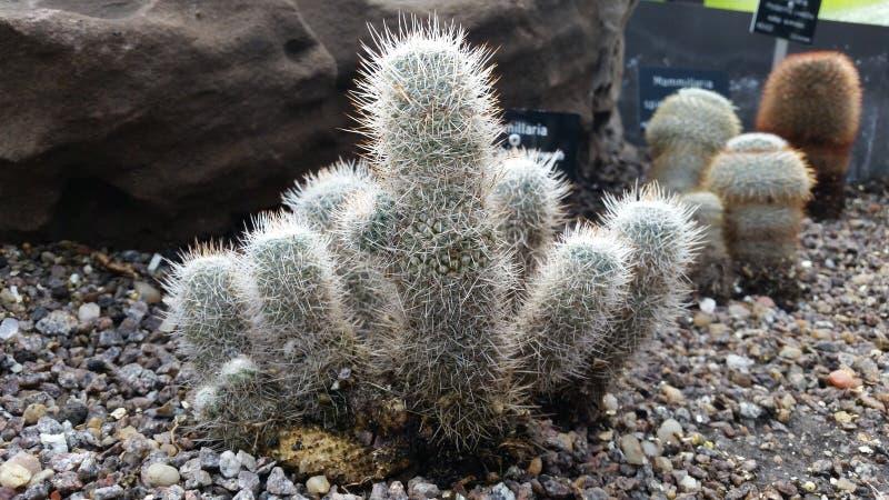Un gruppo di mini cactus immagini stock libere da diritti