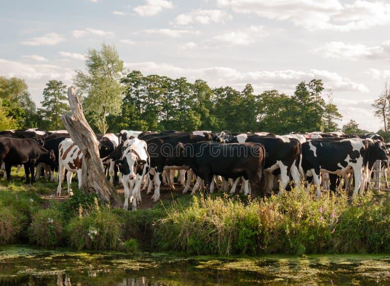 Un gruppo di mucche ha legato molto attentamente insieme come visto dall'altro lato del fotografia stock libera da diritti