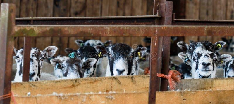 Un gruppo di pecore inglesi bianche in un granaio fotografia stock
