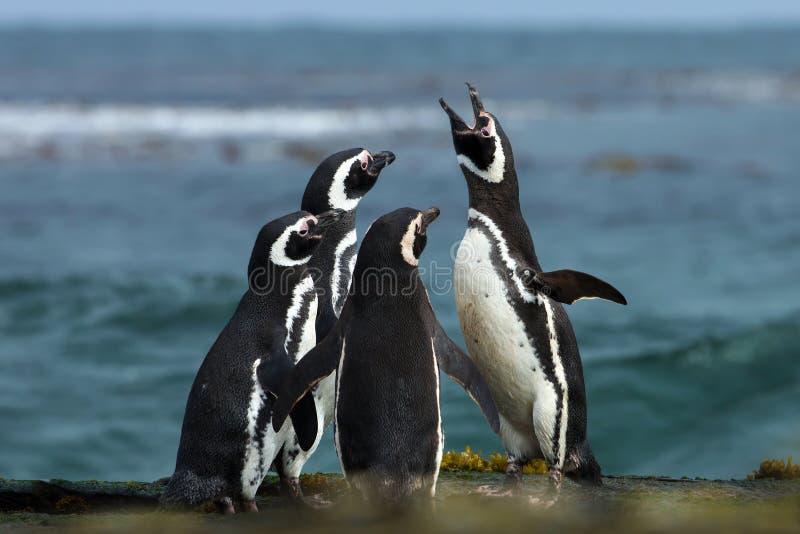 Un gruppo di pinguino di Magellanic si riunisce su una costa rocciosa di Falklan immagini stock