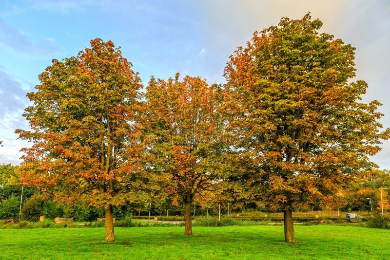 Un gruppo di tre ippocastani, aesculus hippocastanum, nei colori di autunno immagine stock