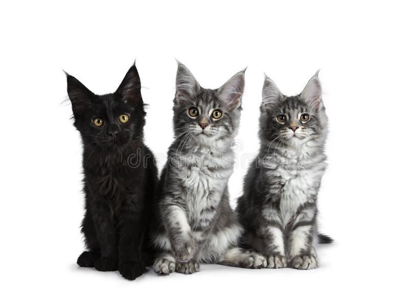 Un gruppo di tre soriani blu/gattini solidi neri del gatto di Maine Coon su fondo bianco fotografia stock