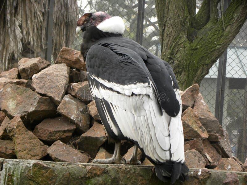 Un gryphus del Vultur del cóndor andino en el parque zoológico fotos de archivo libres de regalías