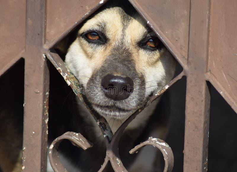 Un guardia-cane sta desiderando la libertà immagine stock