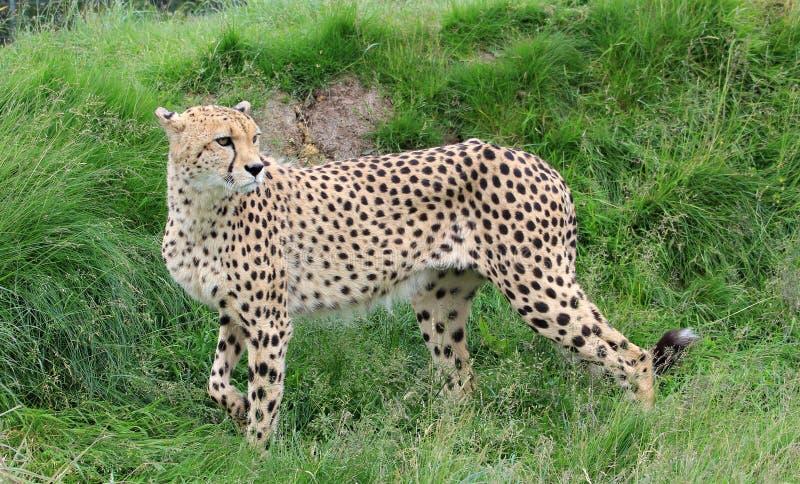 Un guepardo derecho imagenes de archivo
