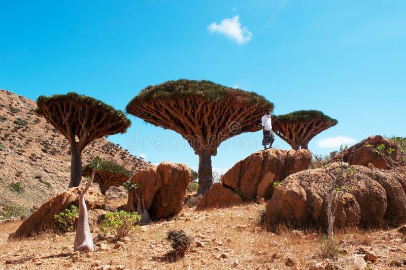 Un guide dans la forêt de Dragon Blood Trees dans le plateau de Homhil, île de Socotra, Yémen photo libre de droits