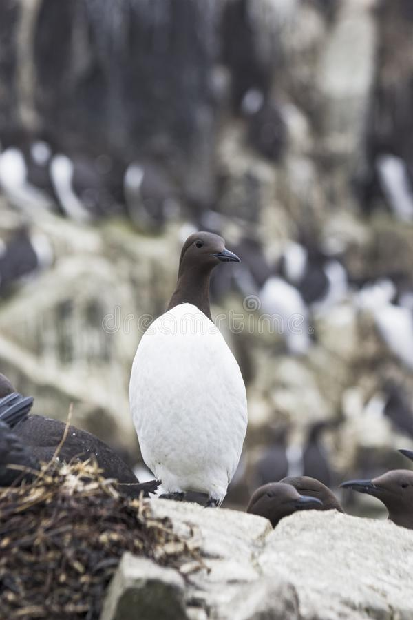 Un guillemot commun dans le plumage d'été photographie stock libre de droits