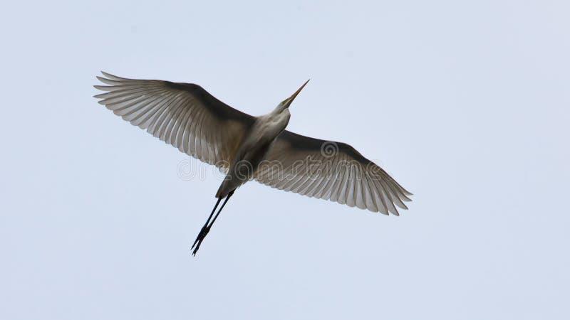 Un héron blanc en vol image libre de droits