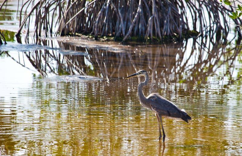Un héron de grand bleu sur Marsh Trail en Floride occidentale du sud photos libres de droits