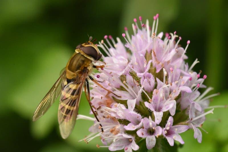 Un H de polinización sobrevuela - los grossulariae de Epistrophe - la alimentación en el néctar de una cabeza de flor de la cebol imagenes de archivo