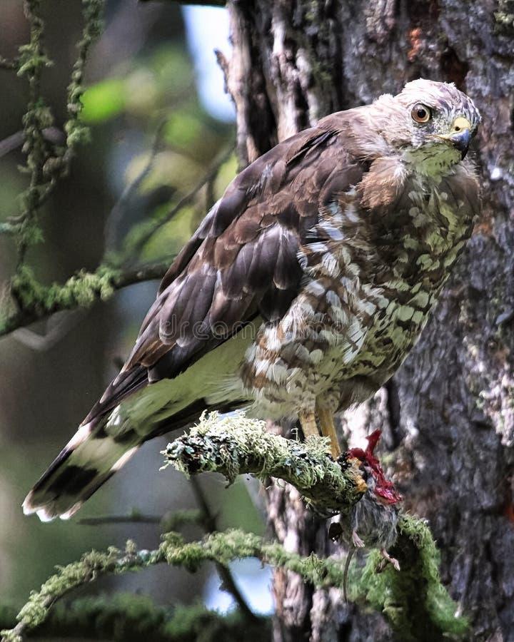 Un halcón amplio-con alas se sienta en una rama con un ratón en sus garras fotos de archivo libres de regalías