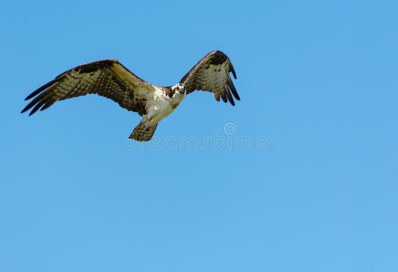 Un halcón del pigargo vuela en un cielo vacío azul claro fotos de archivo