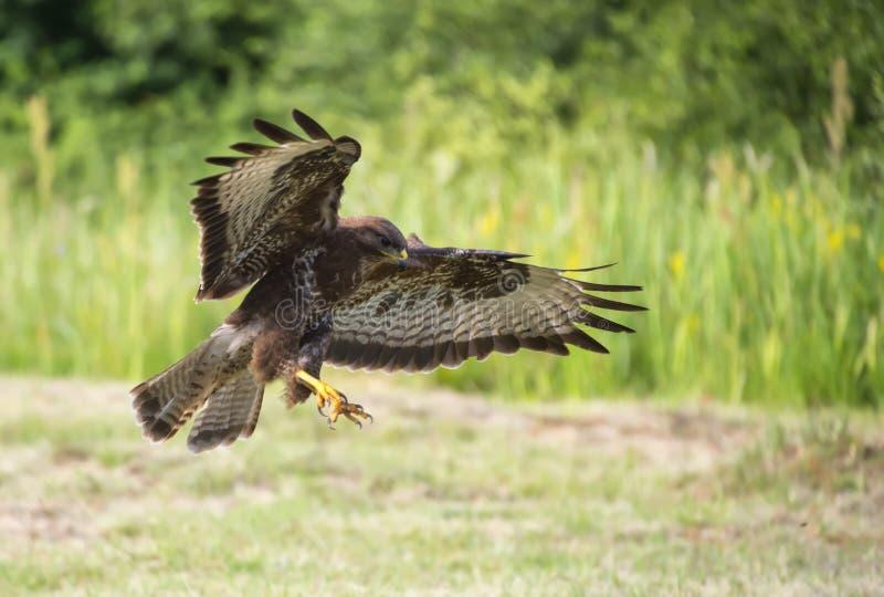 Un halcón está cazando fotografía de archivo libre de regalías