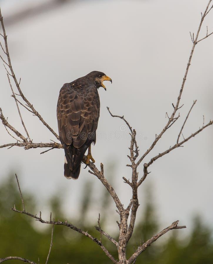 Un halcón negro común del canto en una rama fotos de archivo libres de regalías