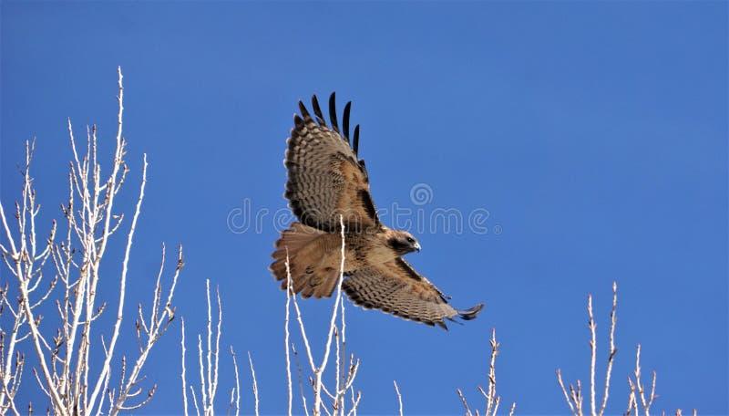 Un halcón rojo de la cola que vuela apenas sobre las ramas de árbol fotos de archivo libres de regalías