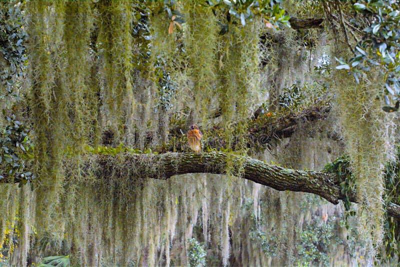 Un halcón Rojo-llevado a hombros se sienta reservado en un miembro de roble musgo-cubierto lerge en una reserva natural del norte fotos de archivo