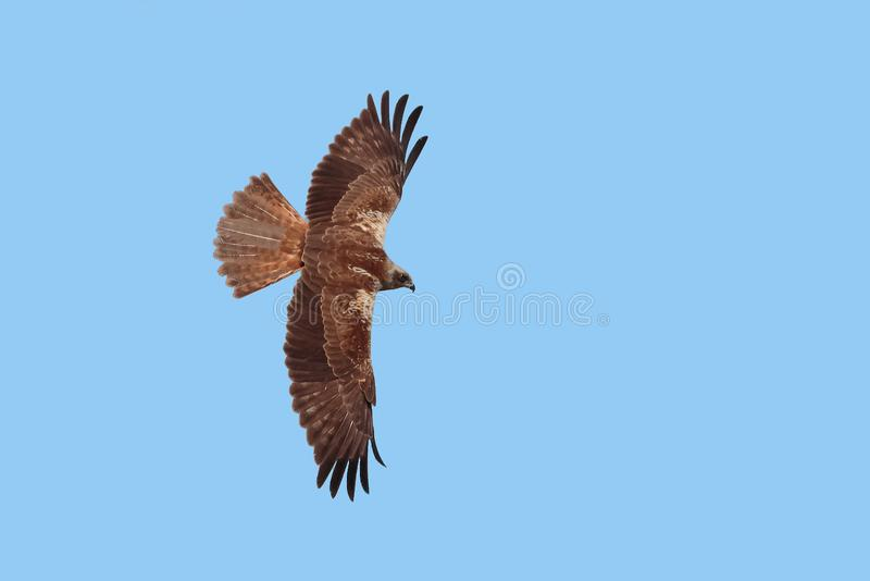 Un halcón zanquilargo, rufinus del Buteo, Rumania foto de archivo libre de regalías