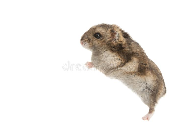 Un hamster d'animal familier d'isolement image stock