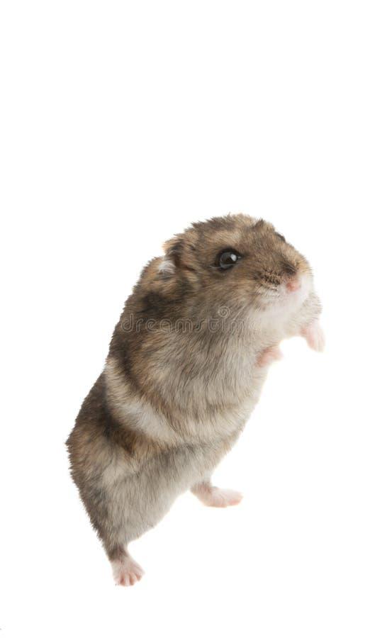 Un hamster d'animal familier d'isolement images libres de droits