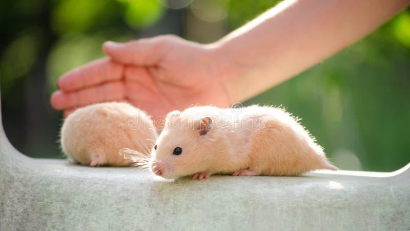Un hamster mignon dans des mains sûres photos libres de droits