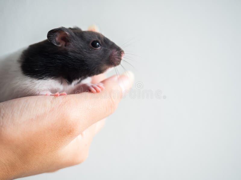 Un hamster noir et blanc de crochet de main gauche sur le fond blanc photo libre de droits