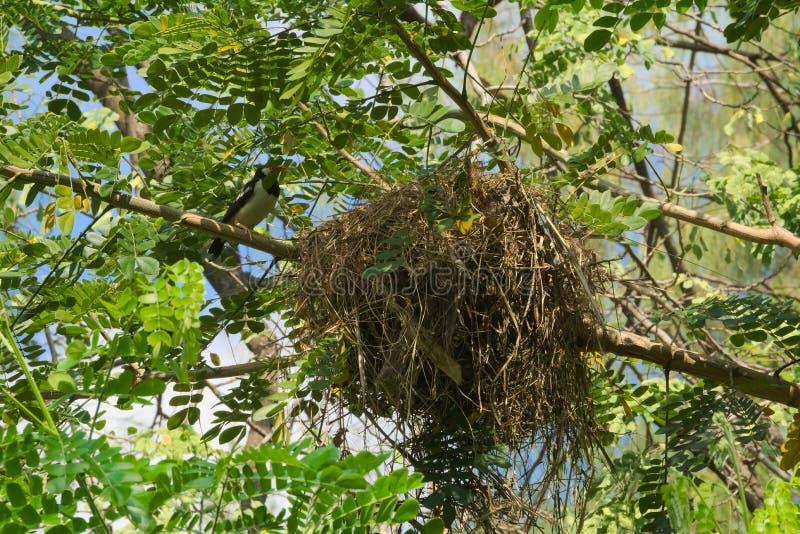 Un hermoso, brillante, naranja hecha frente, pájaro asiático tropical blanco y negro, ocultado en las altas ramas, con su enorme  imagen de archivo libre de regalías