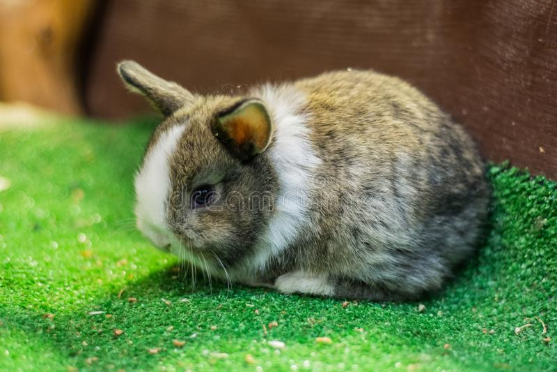 Un hermoso, joven, un gris con blanco, un pequeño conejo La cría de conejos nacionales imagen de archivo libre de regalías