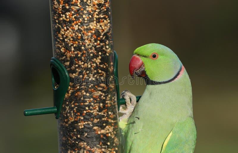 Un hermoso parakeet de cuello anaranjado alimentado por un alimentador de semillas Es el loro naturalizado más abundante del Rein imagen de archivo
