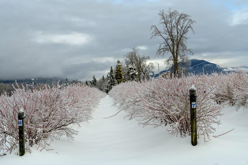 Un hielo cubrió el campo del arándano después de una tormenta de hielo en el Fraser V imagen de archivo libre de regalías