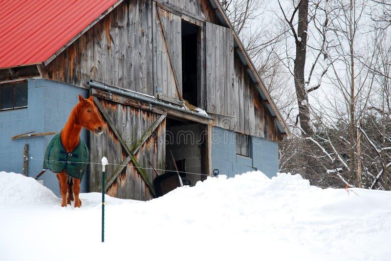 Un hijo del caballo una granja nevosa foto de archivo