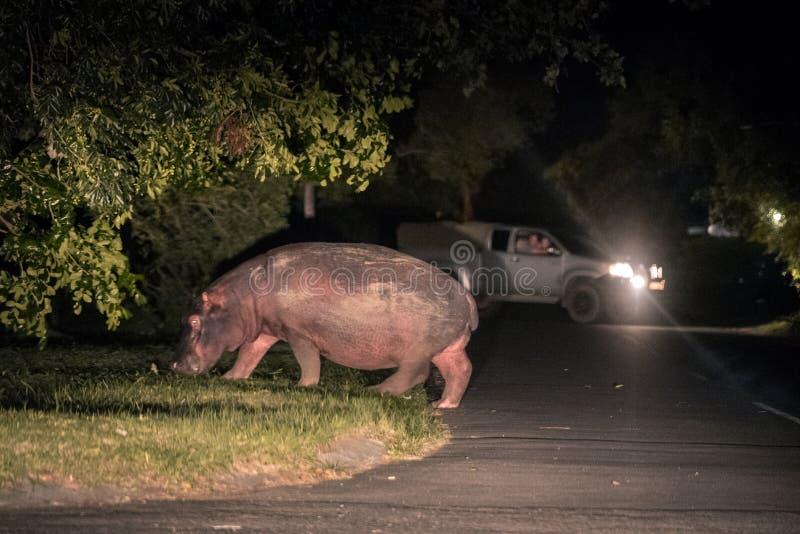 Un hipopótamo que cruza la calle en la ciudad de StLucia imagenes de archivo