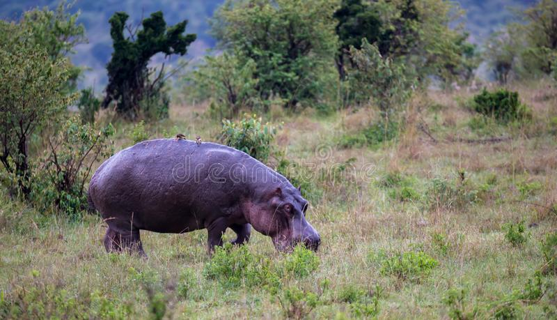 Un hippopotame marche dans la savane images stock