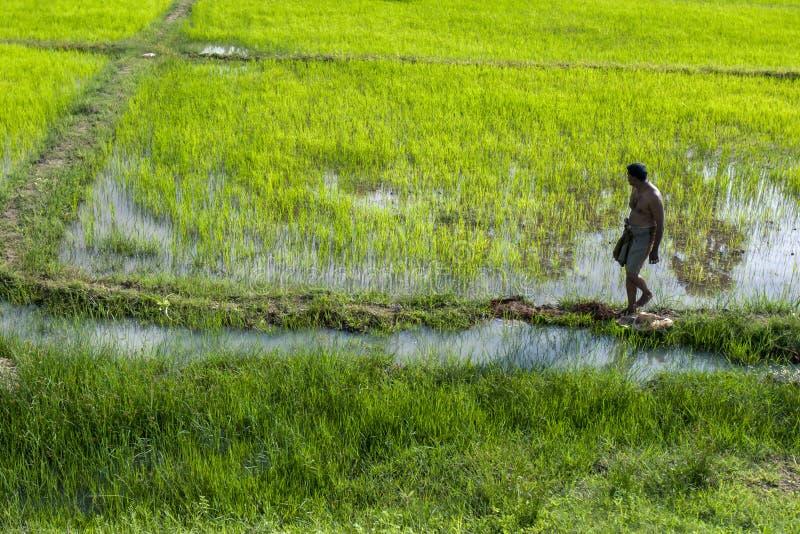 Un hombre camina a lo largo del borde de un campo del arroz en Thachanthoppu en Sri Lanka septentrional imágenes de archivo libres de regalías