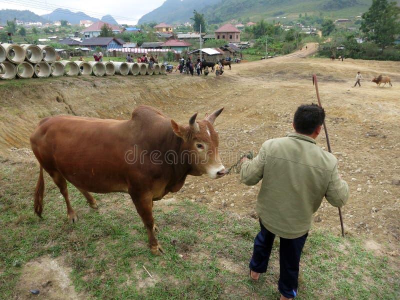 Un hombre de Hmong que prepara un toro para una corrida en Laos rural foto de archivo libre de regalías