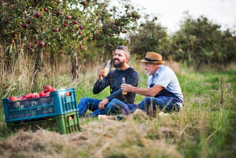 Un hombre mayor con sidra de consumición del hijo adulto en manzanar en otoño fotografía de archivo