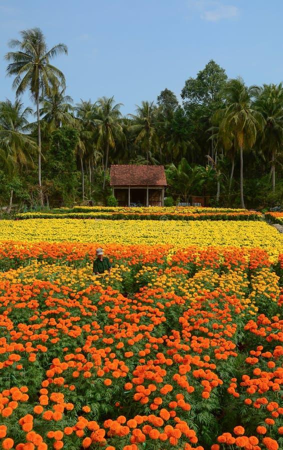 Un hombre que se coloca en el campo de flor en Tien Giang, Vietnam fotografía de archivo