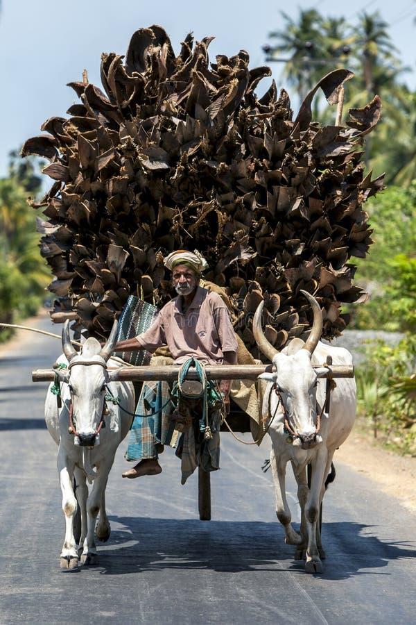 Un hombre y sus bueyes cart el transporte de una carga de las ramas de árbol de coco que serán utilizadas como combustible para l foto de archivo