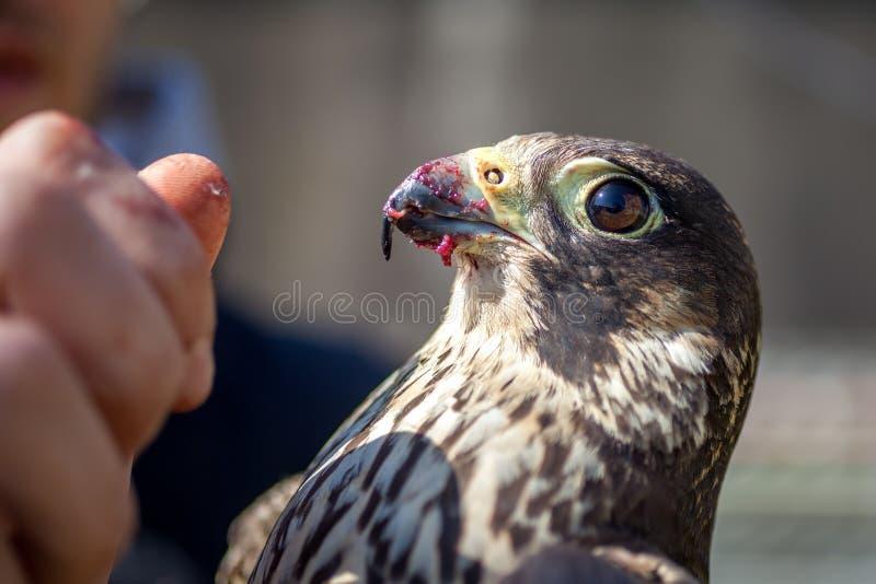Un homme alimente un faucon avec de la viande de colombe images stock
