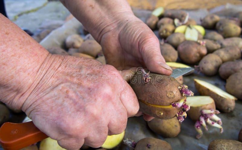 Un homme coupe le tubercule de pomme de terre en morceaux avant la plantation photo stock
