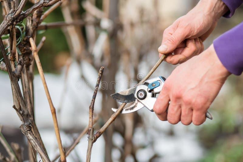 Un homme de jardinier coupe des branches des buissons et des arbres dans son jardin images stock