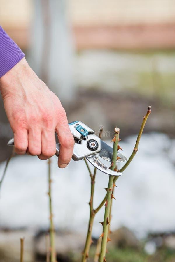 Un homme de jardinier coupe des branches des buissons et des arbres dans son jardin photo libre de droits