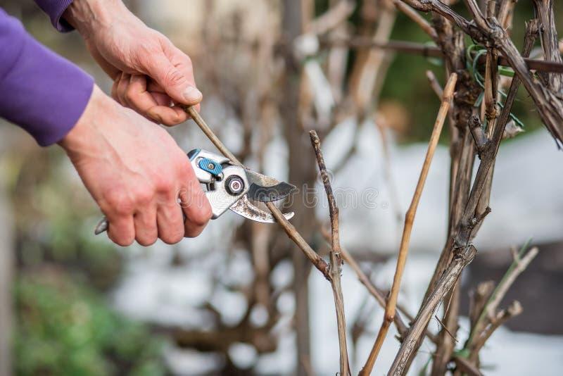 Un homme de jardinier coupe des branches des buissons et des arbres dans son jardin image libre de droits