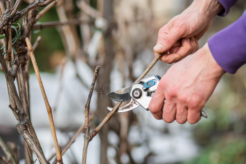 Un homme de jardinier coupe des branches des buissons et des arbres dans son jardin photographie stock