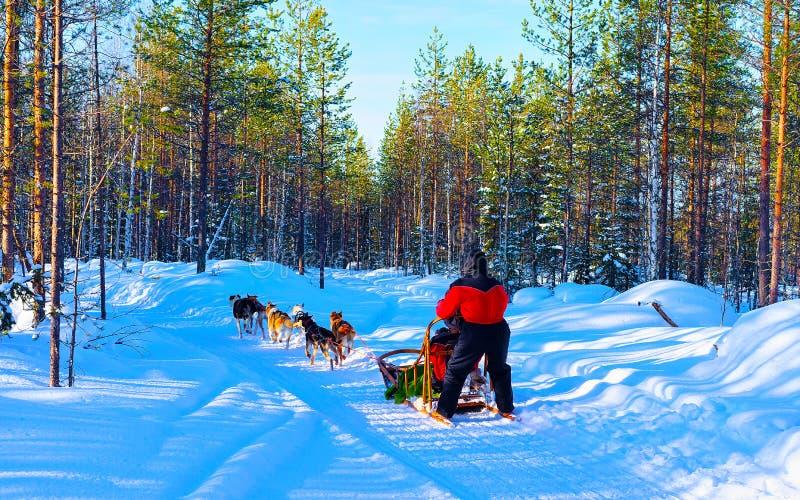 Un homme en traîneau à chiens en Laponie dans le réflexe forestier finlandais en hiver images libres de droits