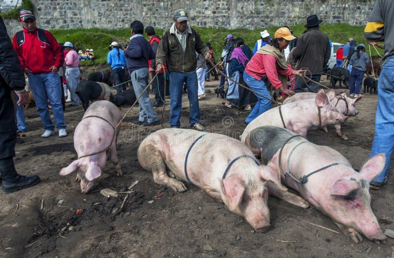 Un homme maintient ses porcs sous le contrôle au marché animal d'Otavalo en Equateur dans l'Amérique du Sud photos libres de droits