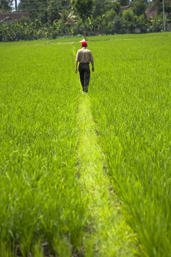 Un homme marchant dans le domaine vert de riz, seulement images stock
