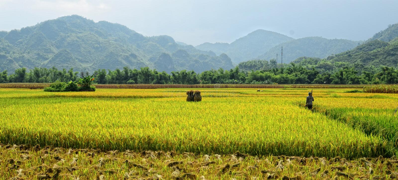 Un homme marchant sur le gisement de riz en Tay Ninh, Vietnam photos stock