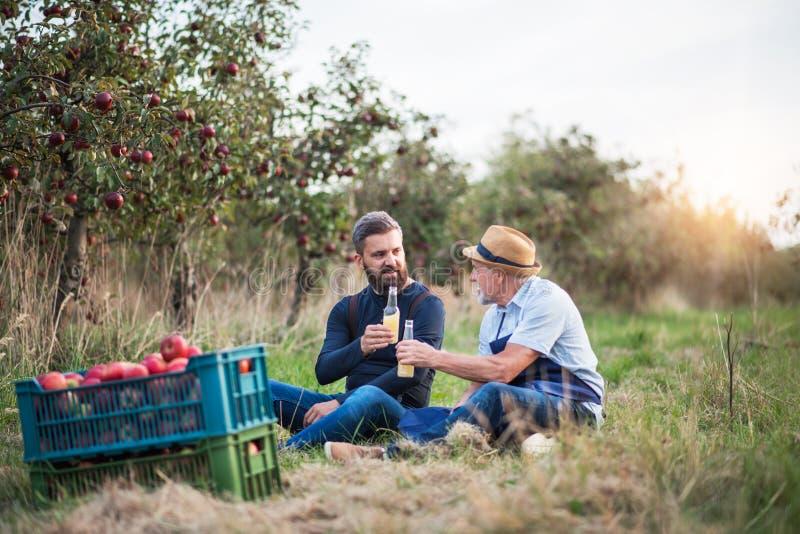 Un homme supérieur avec le fils adulte tenant des bouteilles avec le cidre dans le champ de pommiers en automne photo libre de droits